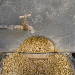 Nixtamalized corn, ready to be ground, at a mill in Mexico City. Photo by Keith Dannemiller.