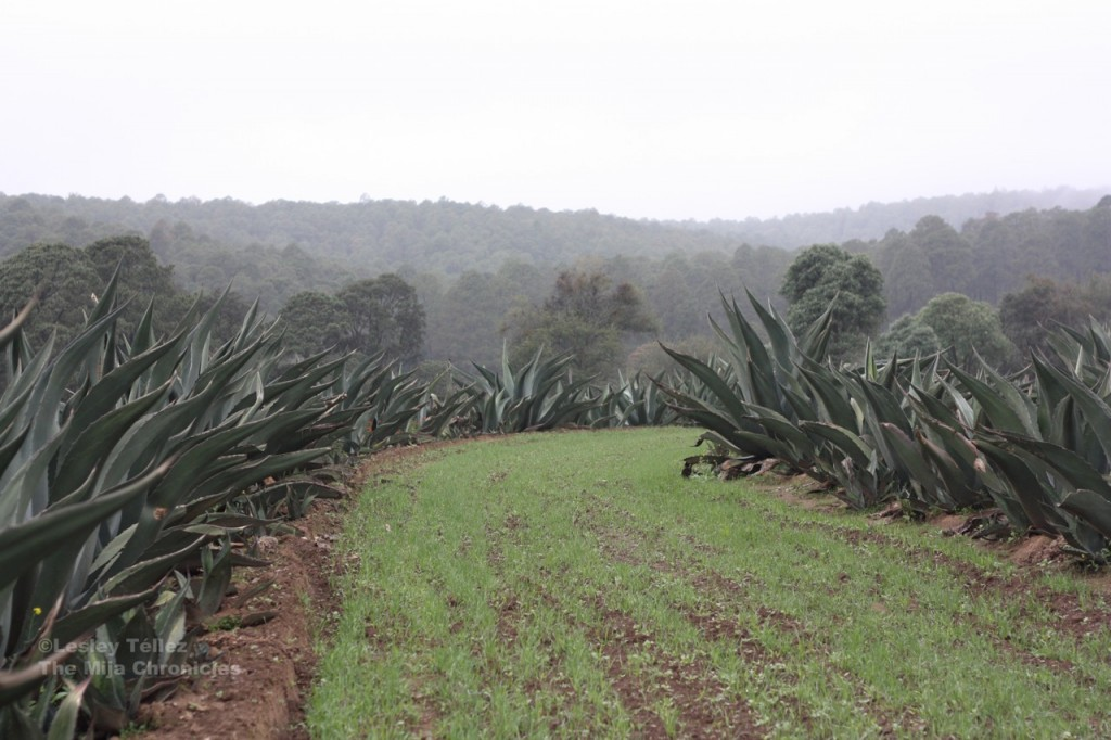 A field trimmed with agave in Tlaxcala, Mexico.