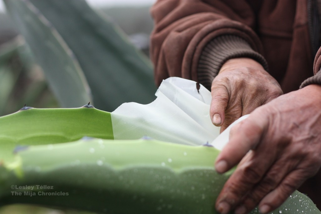 Peeling off the mixiote, or outer skin of the maguey leaf.